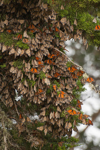 Monarch Butterflies in Santa Cruz, California