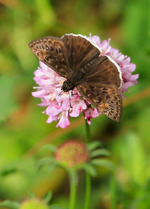 Mournful Duskywing (Erynnis tristis)