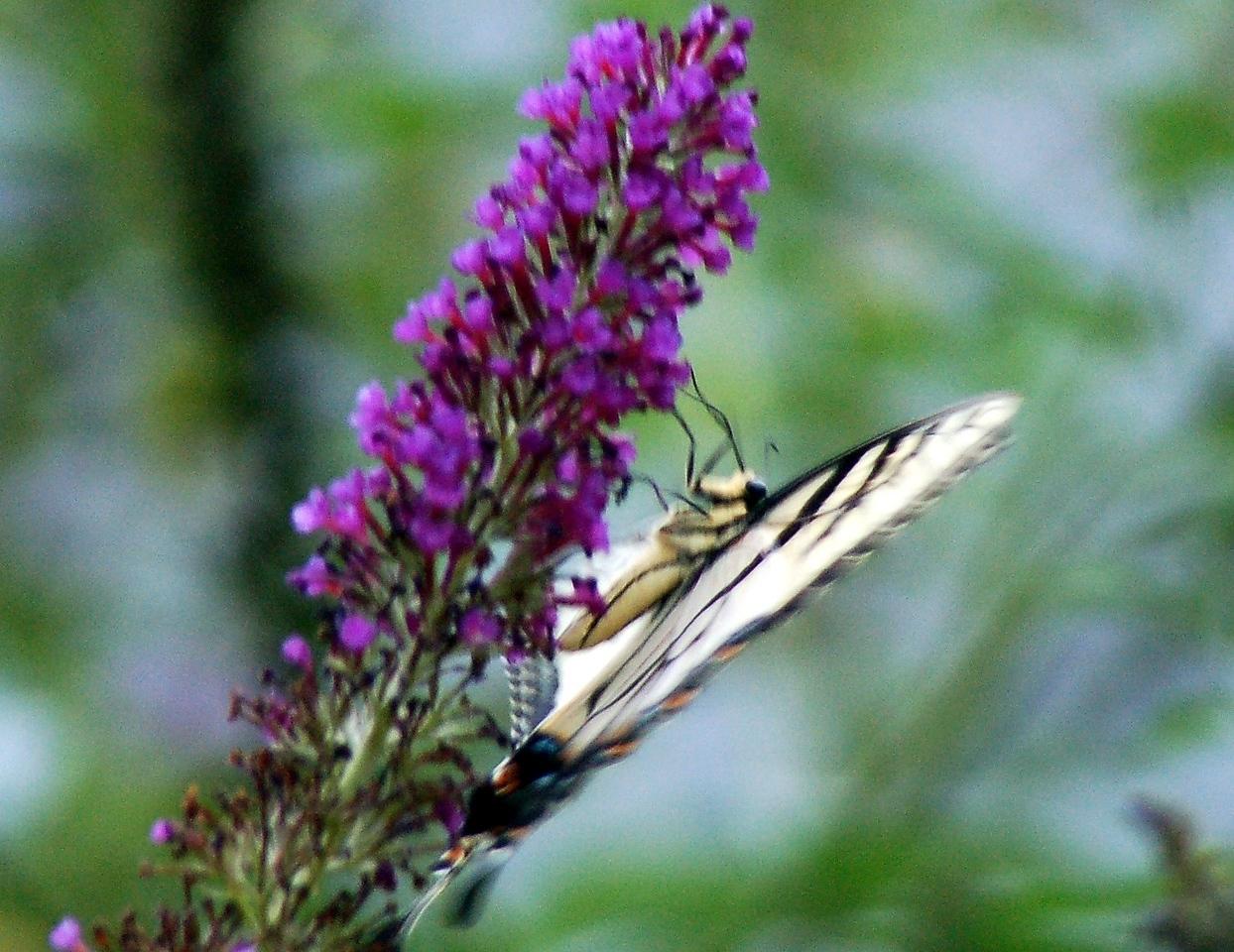 Backyard Butterfly 7-08-45