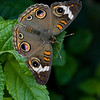 Common Buckeye - Junonia Coenia - August 2008