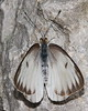 Great Southern White Butterfly - Ascia monuste