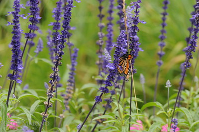 Monarch Butterfly on purple Salvia -- DSC_1028Orig