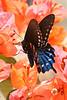 Pipevine Swallowtail on Bouganvilla