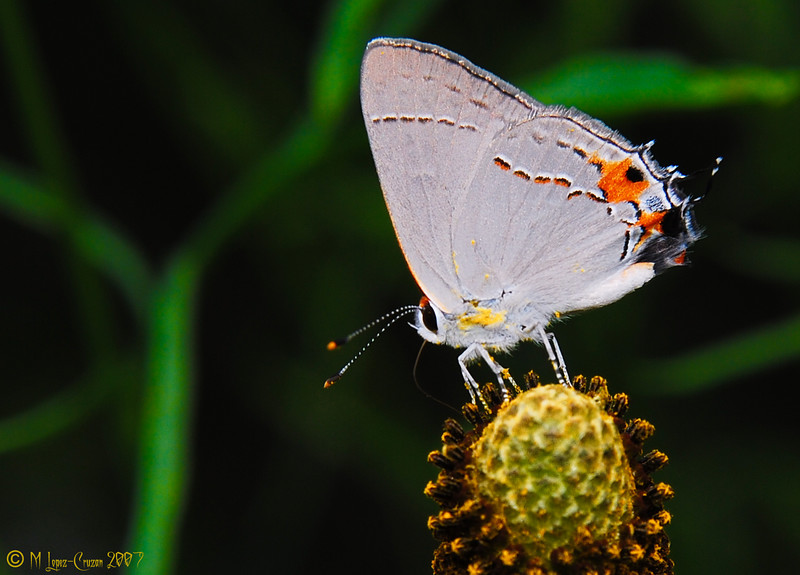 Gray Hairstreak 5