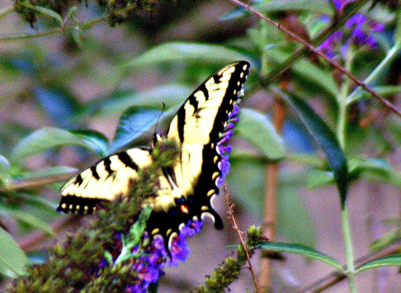 Backyard Butterfly 7-08-2