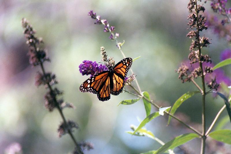 Monarch WV