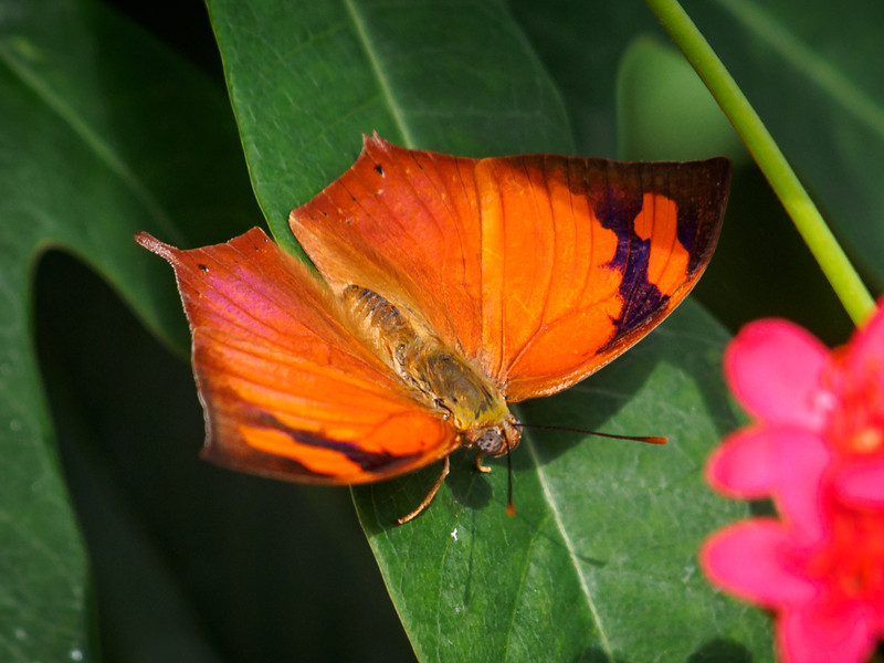Pointed Leafwing - Butterfly Wonderland - 28 Mar 2014