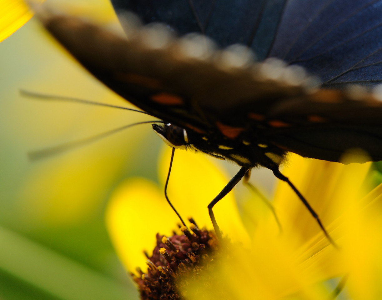 butterfly (7)
