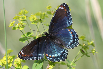 Red-spotted Purple Trempealeau NWR June 17, 2014
