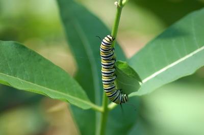 Monarch Caterpillar2