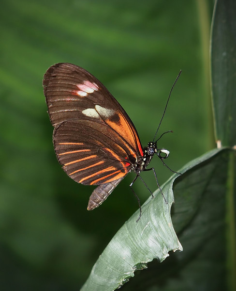 Red Postman (H. Melpomene madiera) at Cockrell Butterfly Center - 30 Oct 2011