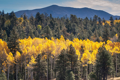 A view of the mountain behind vast vistas of Ponderosa Pine trees and glimmering Aspen trees.  Such a delight on a warm fall day in Arizona.