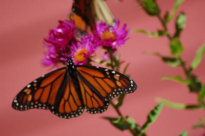 Butterflies_2006-10-08_34