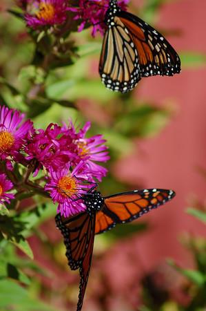 Butterflies_2006-10-08_17