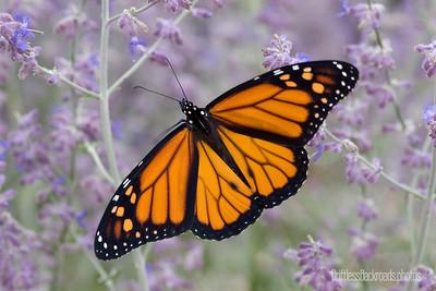 Perfect Monarch