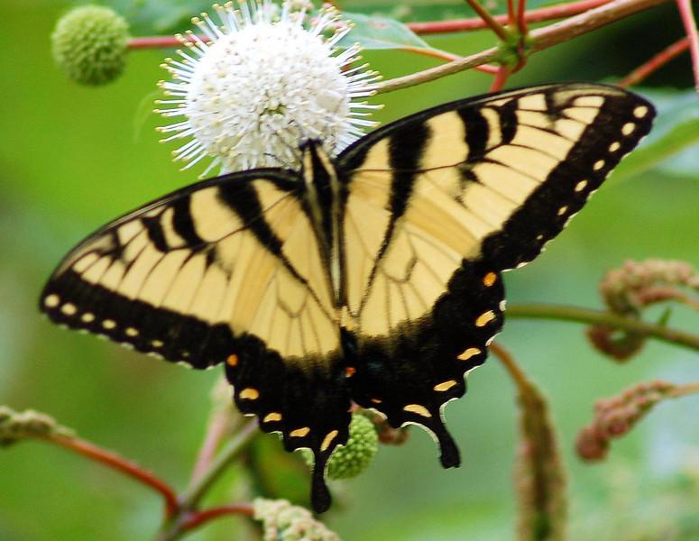 Eastern Tiger Swallowtail at Kenilworth Aquatic Gardens< DC