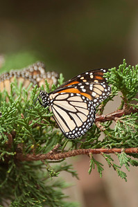 Monarch on Spruce