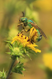 Green Metallic Bee -(Agapostemon sp.)