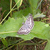 Common checkered-skipper (Pyrgus communis). This lovely little butterfly was seen at the edge of our field. This shot was made with my phone so its not the best photo. I am also told, by someone in the know, that this photo is the ONLY visual record of a sighting of one of these butterflies in North Carolina during August 2012.