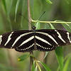 Zebra Longwing at Butterfly Jungle - 24 Apr 2010
