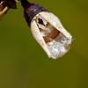 Buckeye cocoon shell - Kitty Todd - August 2010