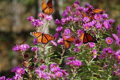 Butterflies_2006-10-08_45