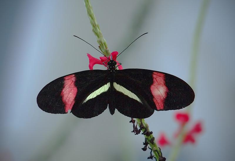 Red Postmam (H. melpomene) at Cockrell Butterfly Center - 30 Oct 2011