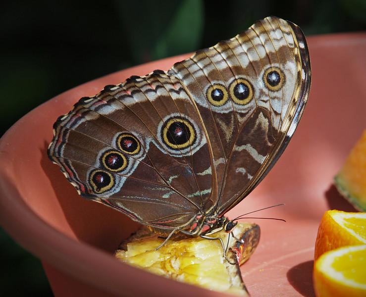 Blue Morpho at Boston Butterfly Garden - 30 Mar 2011