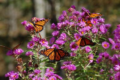 Butterflies_2006-10-08_47