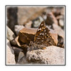 Butterfly in Big Bend; view in the largest sizes to see the details.