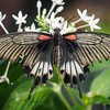 Great Mormon - Butterfly Wonderland - 28 Mar 2014