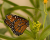 Queen {Danaus gilippus} on Butterfly Weed {Asclepias tuberosa} <br /> San Antonio Botanical Garden, TX <br /> © WEOttinger, The Wildflower Hunter - All rights reserved<br /> For educational use only - this image, or derivative works, can not be used, published, distributed or sold without written permission of the owner.