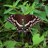 The Palamedes Swallowtail (Papilio palamedes), sometimes called the Laurel Swallowtail. Judging by the broken wing and faded colours, this is an old individual.
