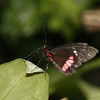 Cattleheart of some sort, Parides