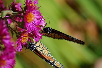 Butterflies_2006-10-08_22