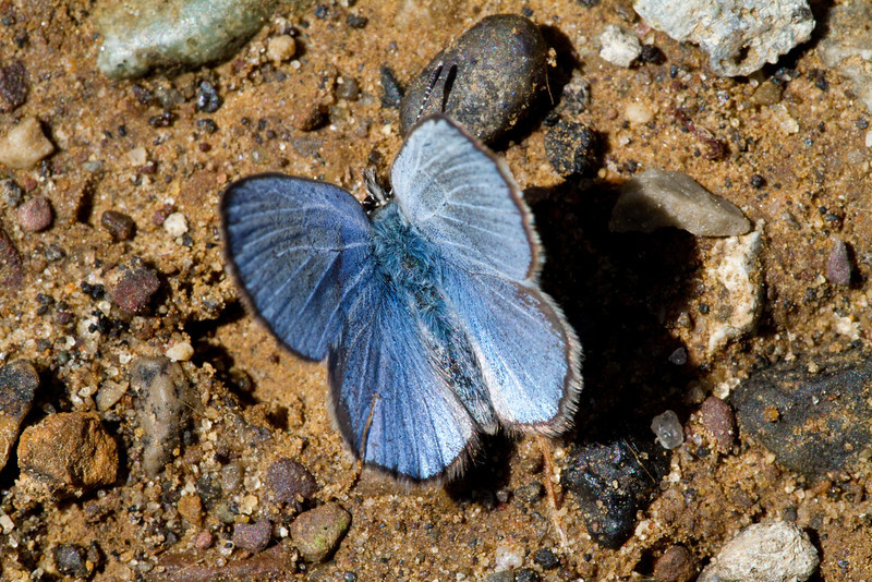 Silvery Blue - Shawnee State Park - April 30, 2011