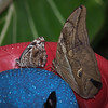 Mexican Bluewing and Seleucida Giant Owl at Cockrell Butterfly Center - 30 Oct 2011