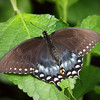 Black Swallowtail at The Butterfly Place - 29 Mar 2011