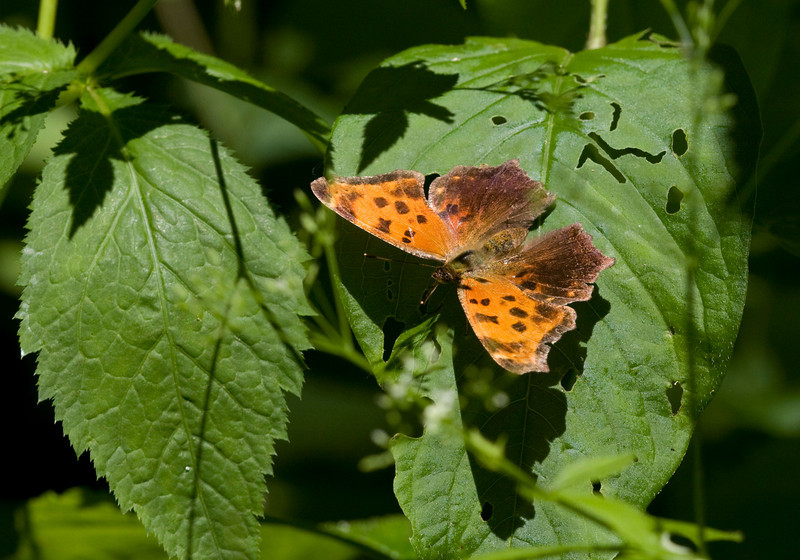 Eastern Comma (Summer form) - June 2008 - Oak Openings