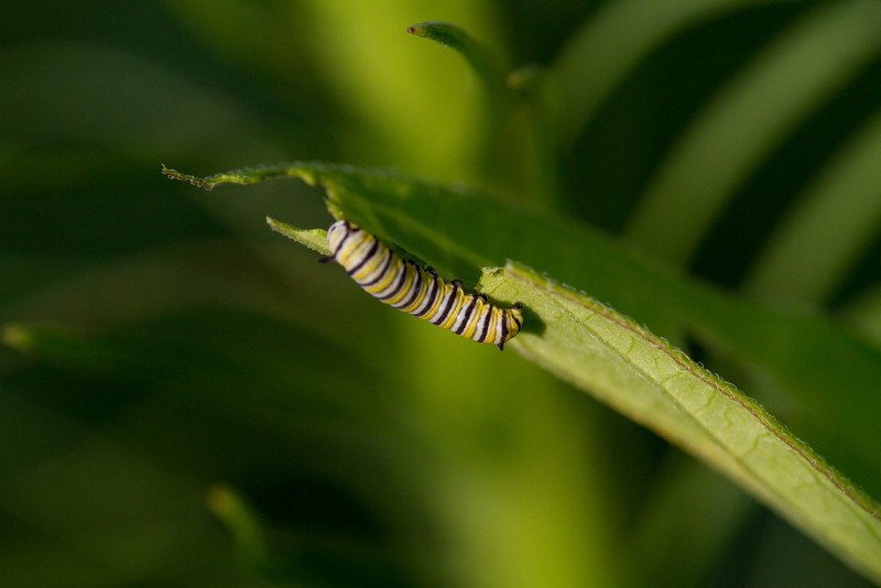 Monarch Caterpillar on Swamp Milkweed - July 20, 2010 - My yard<br /> Consider planting milkweeds in your yard.  Monarchs rely on these for feeding when they are caterpillars.