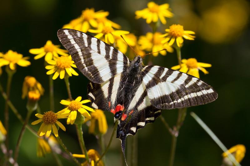 Zebra Swallowtail - Shawnee State Forest - April 30, 2011
