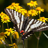 Zebra Swallowtail - Shawnee State Forest - April 30, 2011