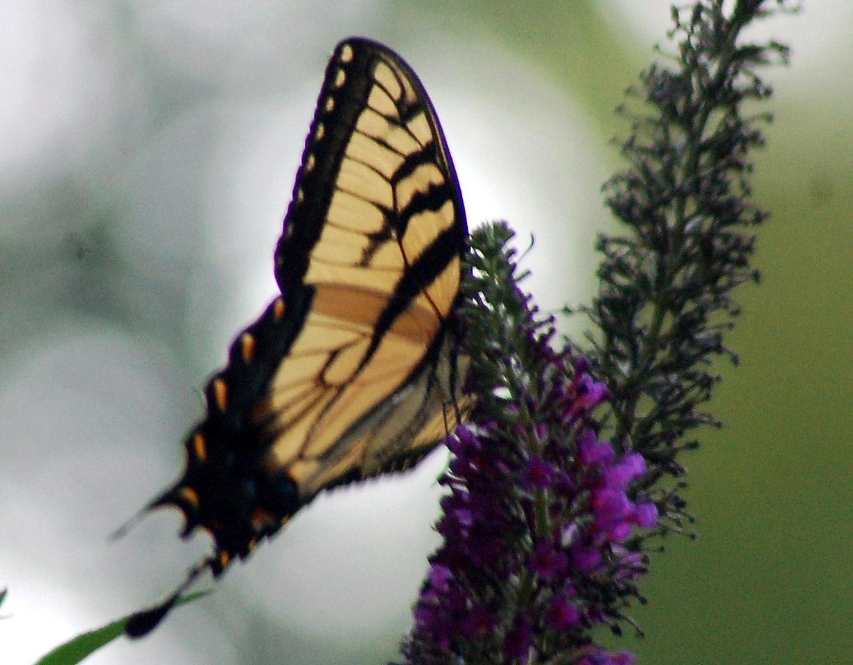 Backyard Butterfly 7-08-54