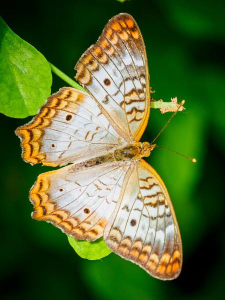 Peacock - Butterfly Wonderland - 20 Nov 2020