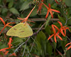 Cloudless Sulphur {Phoebis sennae} <br /> San Antonio Botanical Garden, TX <br /> © WEOttinger, The Wildflower Hunter - All rights reserved<br /> For educational use only - this image, or derivative works, can not be used, published, distributed or sold without written permission of the owner.