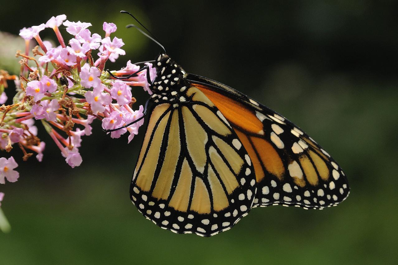 Monarch (1)
