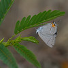 Gray Hairstreak on Partridge Pea - August 7, 2010