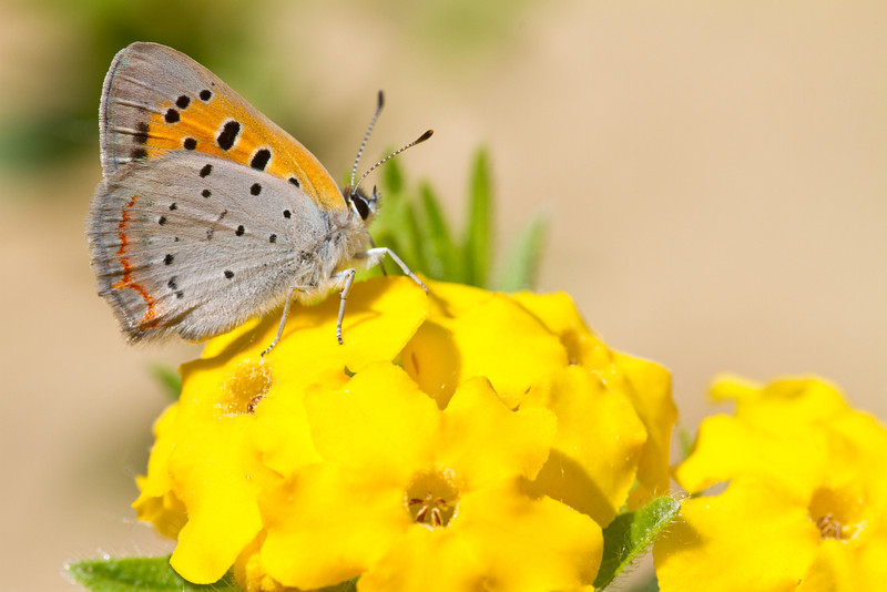 American Copper on Puccoon - May 18, 2012