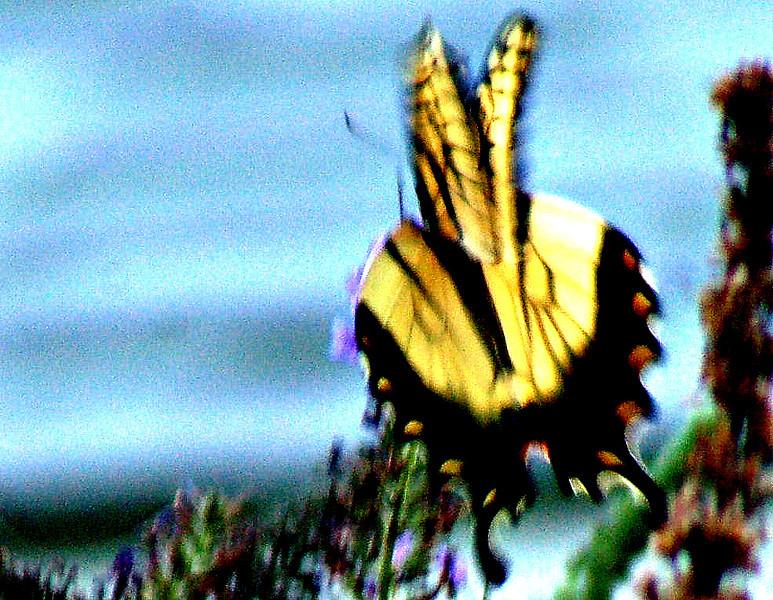 Backyard Butterfly 7-08-6