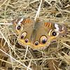 The Common Buckeye butterfly (Junonia coenia)